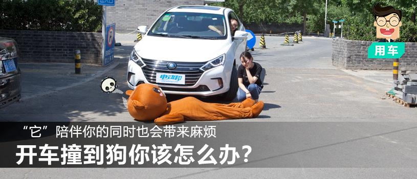 """""""它""""陪伴你的同时也会带来麻烦 开车撞到狗你该怎么办?"""